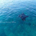 水面にてマンタがプランクトンを捕食しています。 石垣島の海、冬の風物詩。