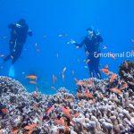 体験ダイビングで見られるアカネハナゴイ。美しい。