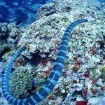 ウミヘビ。沖縄の海にはわりといます。かまないけどついて来る時が有ります^^;