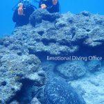 石垣島の海底でウミガメ観察。