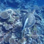 サンゴ礁とアオウミガメとコバンザメ。