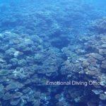 石垣島崎枝湾のサンゴ礁。回復してきました。