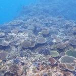 石垣島のサンゴ礁が復活してきています。