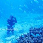 サンゴ礁に隠れた後、一斉に泳ぎだすデバスズメダイ。