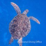 アオウミガメ、黒島にてゆっくり併泳させてくれました。