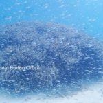 吹雪のように見えるスカシテンジクダイ。竹富島の海底にて。