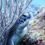 石垣島のアオウミガメ・体験ダイビングにて